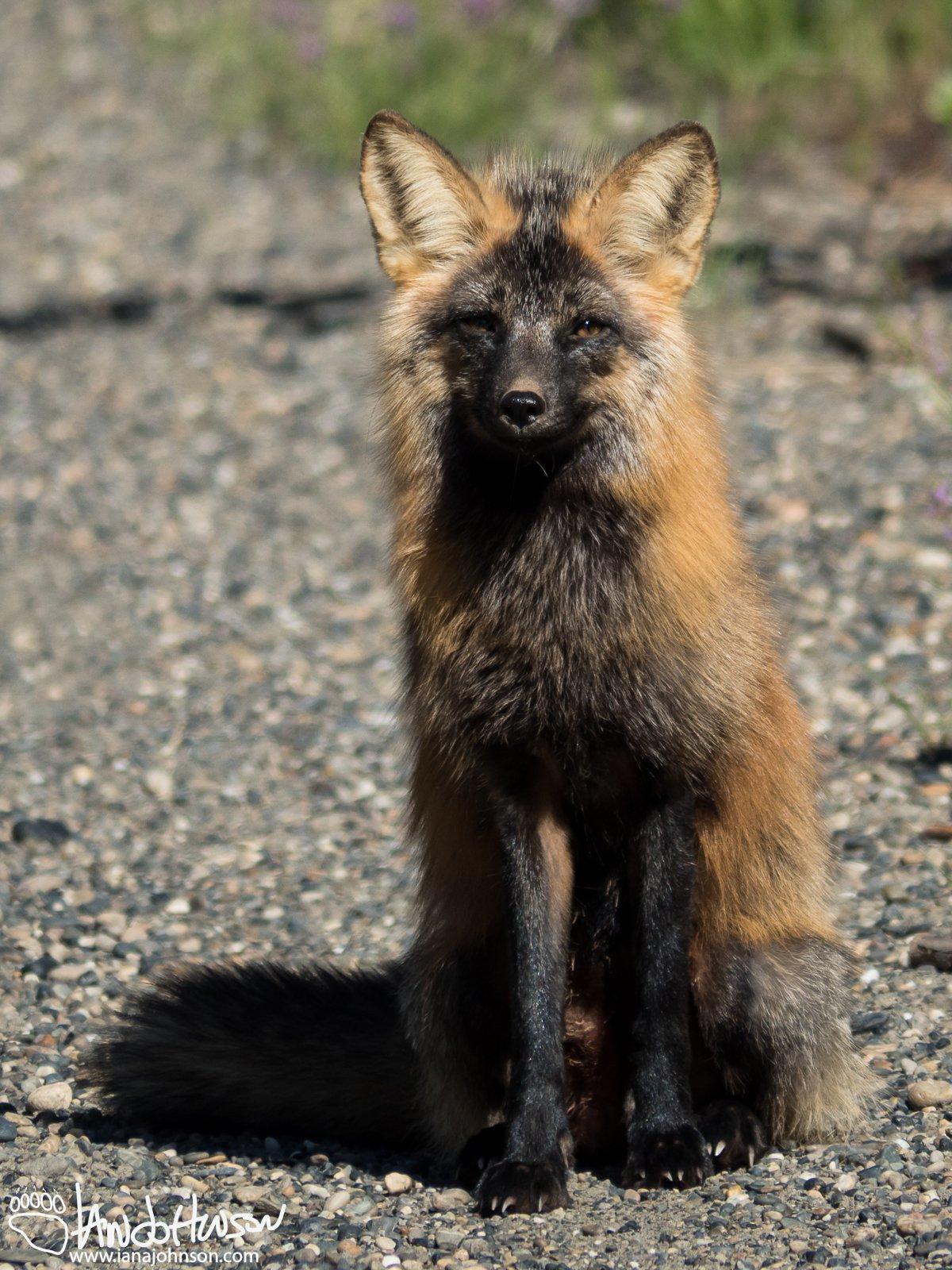 Cross fox color